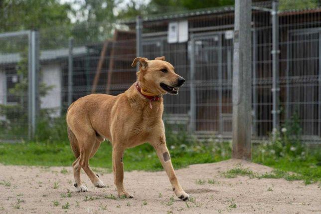 Bolo, pies który potrzebuje domu tymczasowego