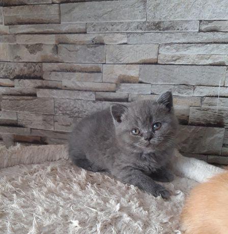 Brytyjska kotka niebieska