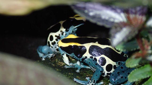 Dendrobates tinctorius 'Patricia' - drzewołaz - żaba