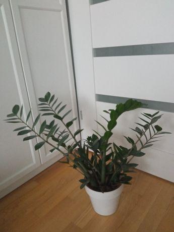 2 rośliny Zamiokulkas