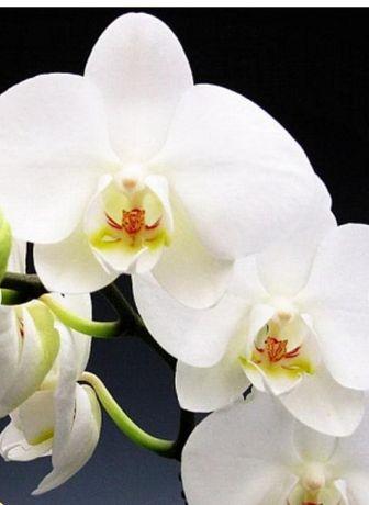 Продам семена фаленопсиса белого