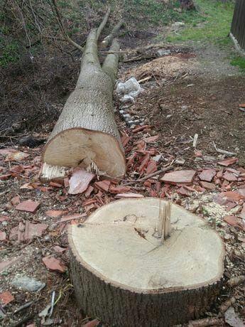 drzewo lipowe dla rzeźbiarza