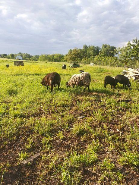 Продам сім'ю овець
