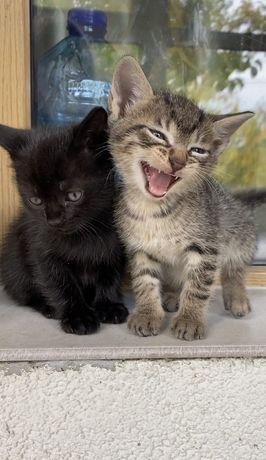 Котята , 1.5 месяца, к лотку приучены на 5+