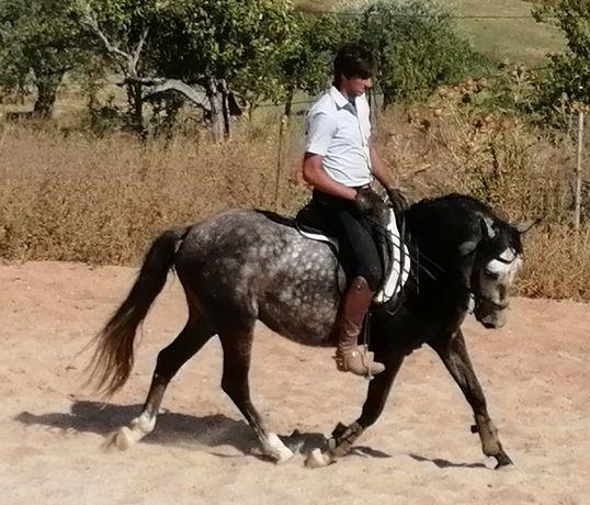 Cavalo Lusitano manso
