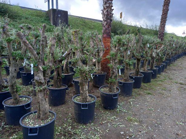 Aproveite Oliveiras em Liquidação! / Plantas / Árvores / Jardim