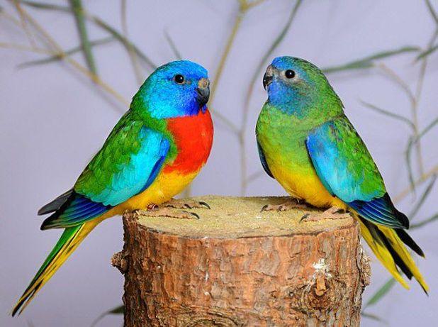 певчие попугаи(лазурики,розелы))