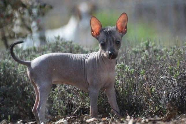 Nagi pies peruwiański miniaturowy szczeniaki hodowla FCI