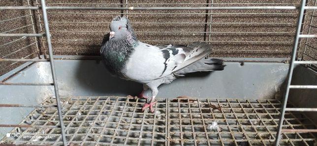 Gołębie garłacze koroniaste