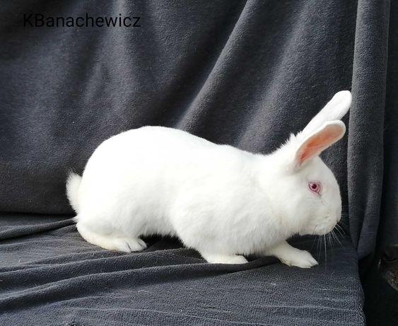 Samce Termondzkie Białe króliki użytkowe, rasa mięsna