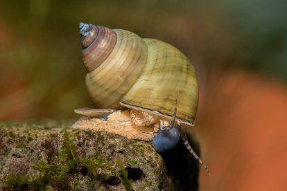 Ślimak Filopaludina Sumatraensis Biała