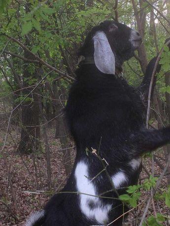 Англо-нубийский козел
