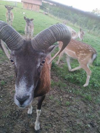 Baran samiec muflon oraz samica