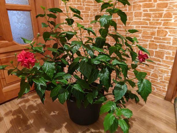 Гібіскус, рослина велика