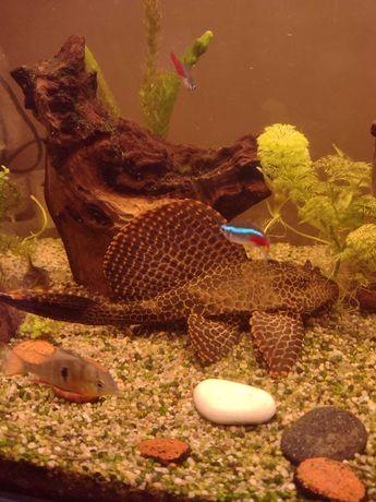 glonojad ryba akwariowa