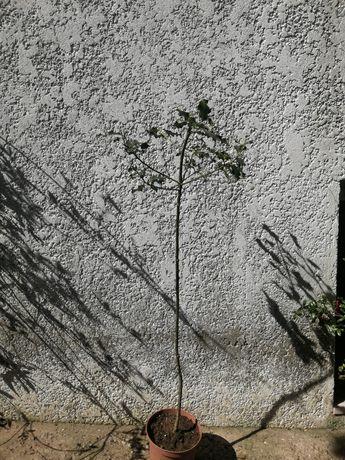 Arvore do azevinho de vários tamanhos