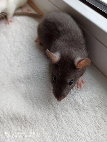 Продам крысенка 2 месяца