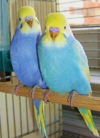 Волнистые птенчики ручные