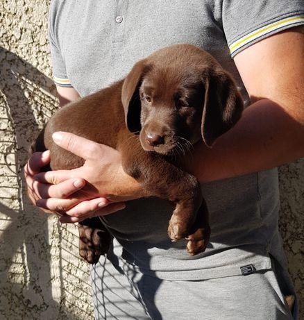 Cachorrinha labrador chocolate