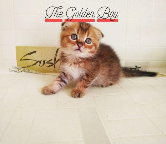 Вязка золотой тикированный мальчик с шикарными генами ждёт  дам