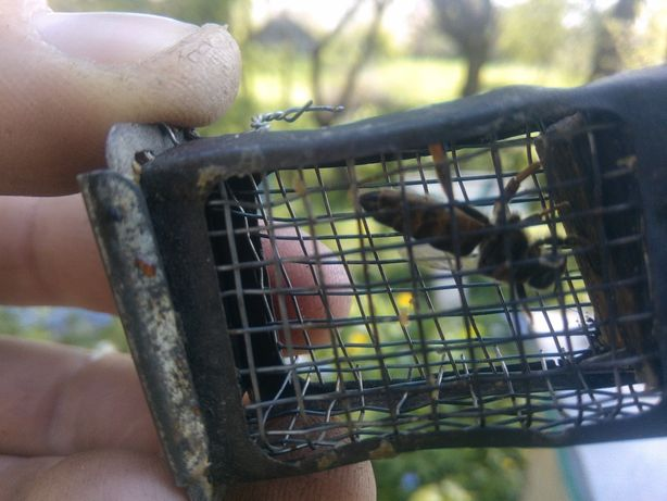 Продам бджолині матки породи карпатка