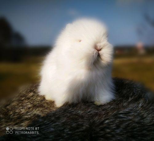 Królik, króliki karzełek Teddy gotowy do odbioru