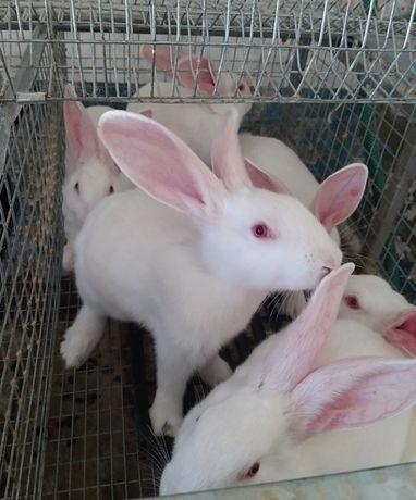 Белый панон кролики