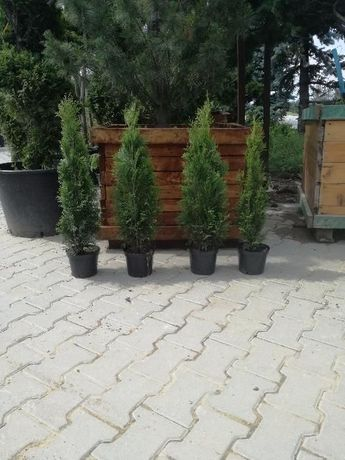 Thuja Szmaragd 55-70cm, od producenta