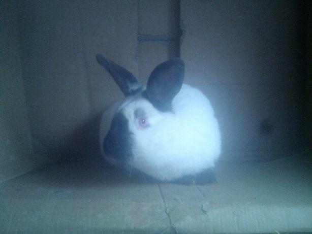 продам кролики калыфорнии