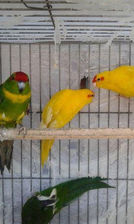 Продам попугаев-какариков