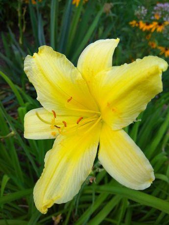 Лилейник жёлтый лимонный продам или обмен