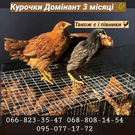 Бройлер Венгрия Мулард Индюшата Биг6 мясо-яичные цыплята Утята Доминан