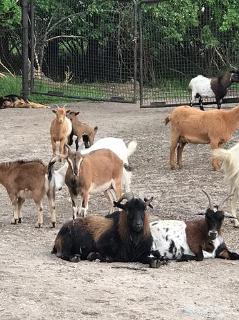 Продам Камерунский козлят(козликов)