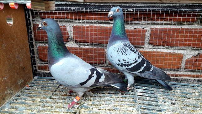 Gołębie pocztowe. Para nr4 lot