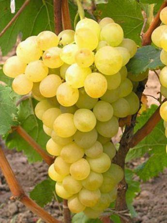 Виноград Восторг саженцы