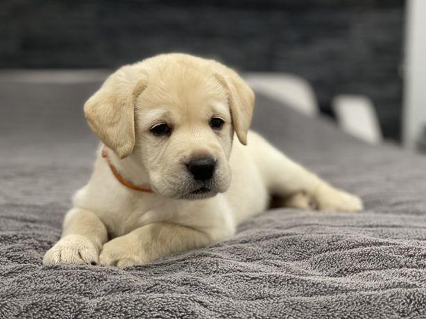 Labrador retiever szczenięta FCI