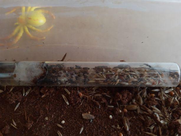 Mrówki Messor Structor + Messor Barbarus