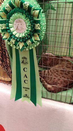 Вязка. Бенгальский кот, родословная, титул Чемпиона.