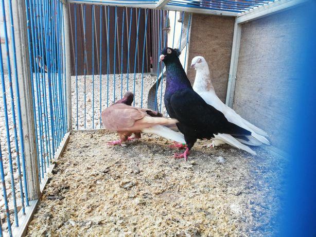 Para wyszfancy bialoogon blauwinder . Gołębie z lotu