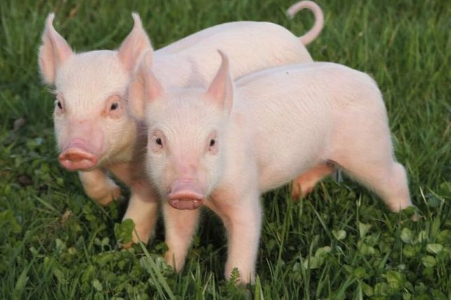 Поросята свиньи!!