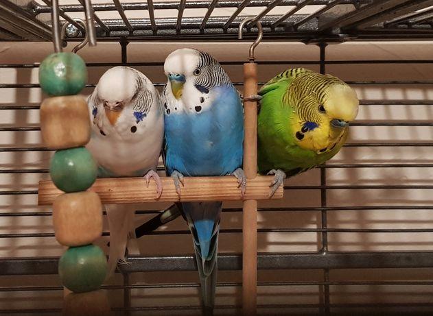 Papuga papużka falista - sprzedam