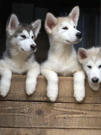 Продаются щенки Аляскинского Маламута!