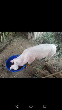 Vende se Porcas vários tamanhos e preços