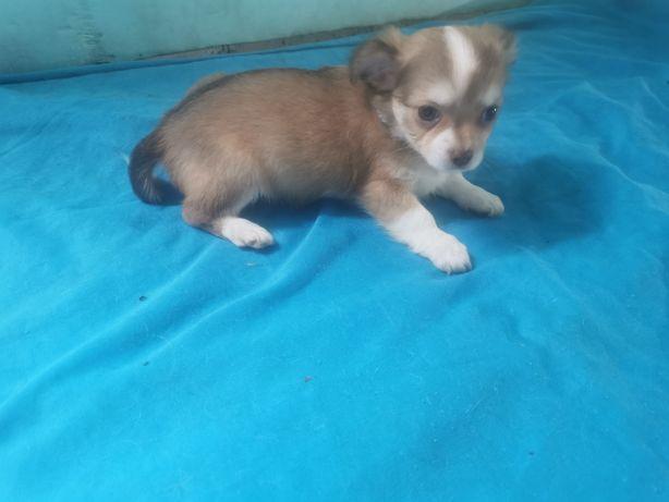 Chihuahua miniatura macho de pêlo longo