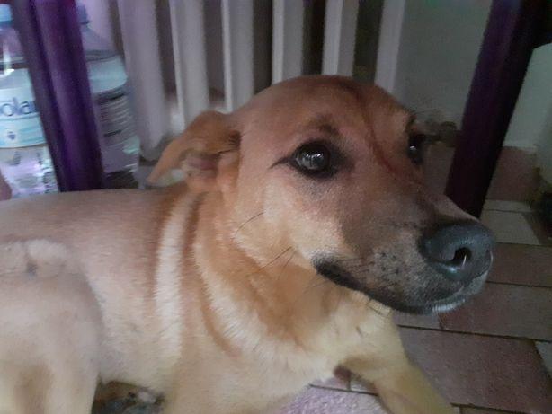 Szczeniak do adopocji - rudy, malowany Dingo
