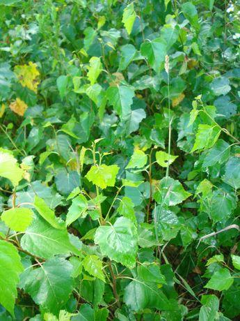 Sadzonki brzozy 150 do 250 cm