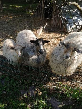 Zwierzęta owce wrzosówki