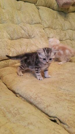 Котенок скоттиш-страйт.