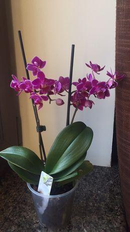 Орхидея камбрия цветущая