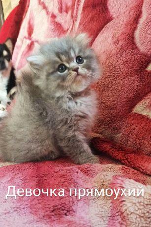 Кошечка хайленд прямоухая